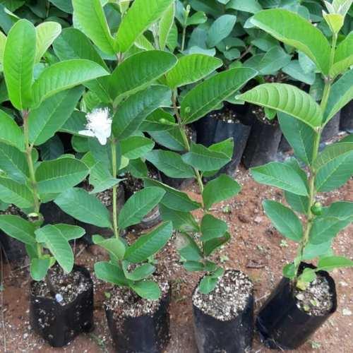 Taiwan pink Clone Plant 500 plants 45 rupees per plant