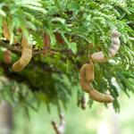 Tamarind Tree.jpg