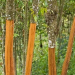 Cinnamon plant.jpg