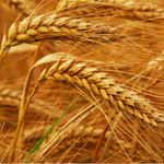 wheat-main.jpg