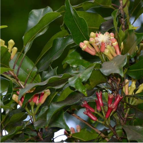 Clove plant.jpg
