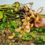 peanut-plant.jpg