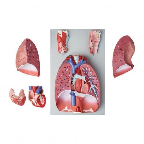 Human Body Respiratory Model