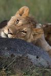 Mugshot of a Lion Cub