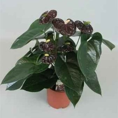 Anthurium Blood Red