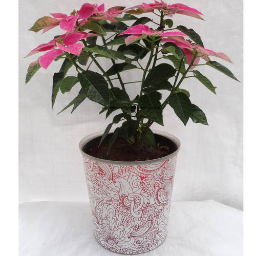 Pink Poinsettia in design pot