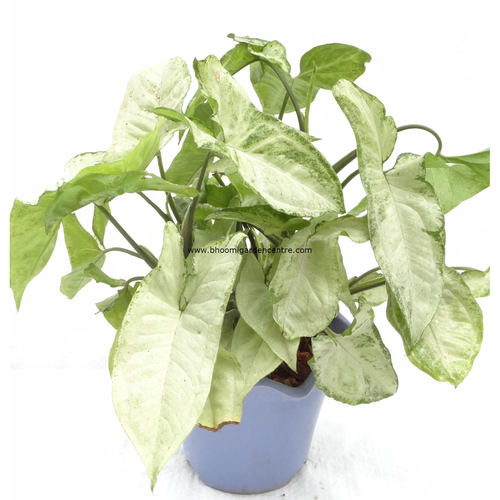 Syngonium in design platic pot