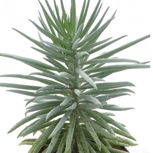 Sedum reflexum Blue Spruce in black ceramic pot