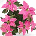 Pink Poinsettia in design pot