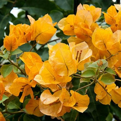 Bougainvillea Yellow