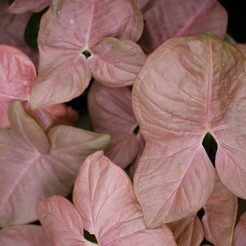 Syngonium Pink