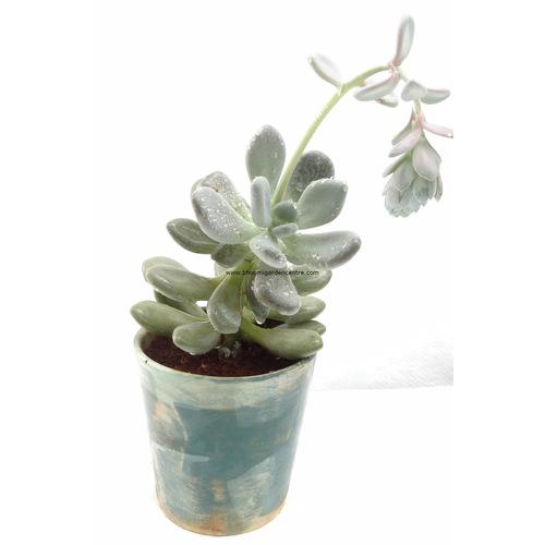 Pachyphytum oviferum-Moonstones in ceramic pot 1