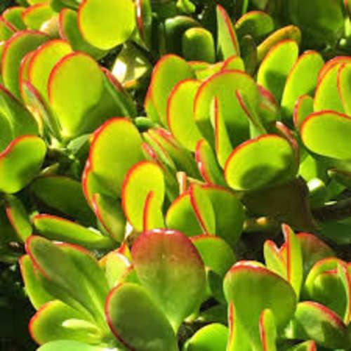 Crassula Ovata - Jade