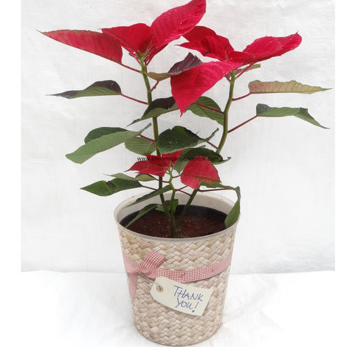 "Red Poinsettia in  ""Thank you"""