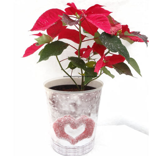 "Poinsettia in ""Christmas love"" pot"