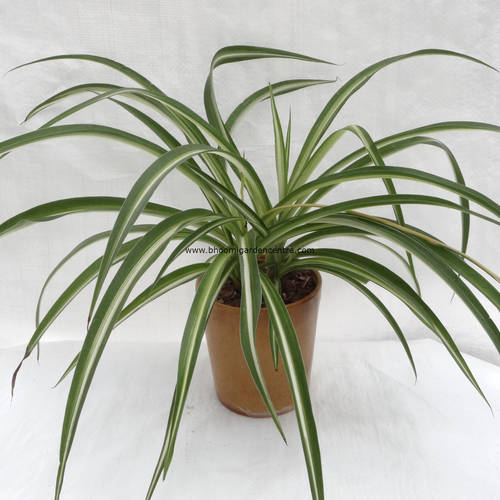 Spider plant in brown ceramic pot