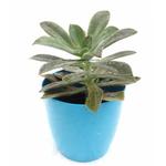 graptopetalum in blue plastic pot