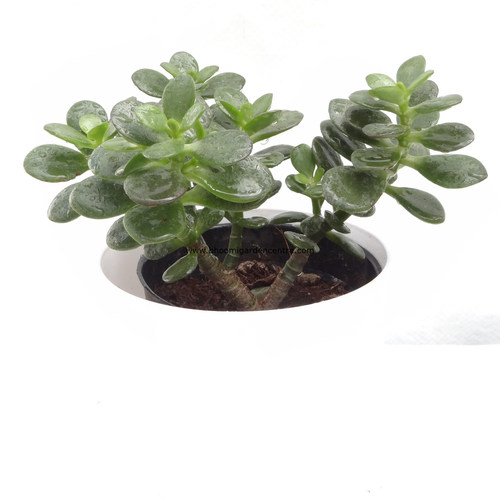 Small leaf jade in white plastic pot