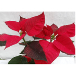 """Red Poinsettia in  """"Thank you"""""""