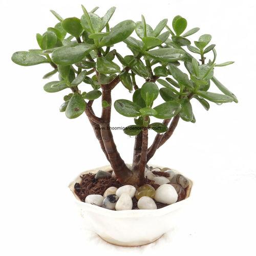 Big leaf Jade in white ceramic bowl
