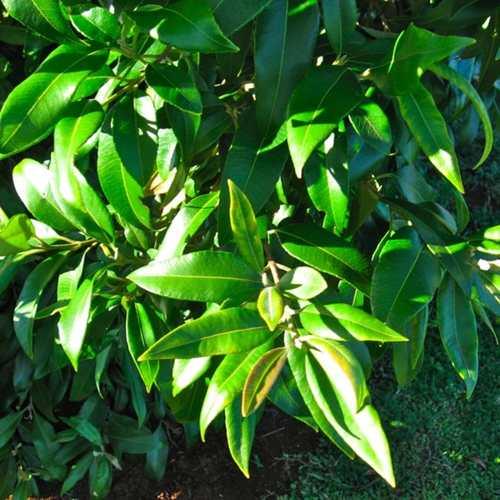 Australian Lemon Myrtle (30g Gift Tin)