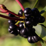 Tasmanian Pepper Berry