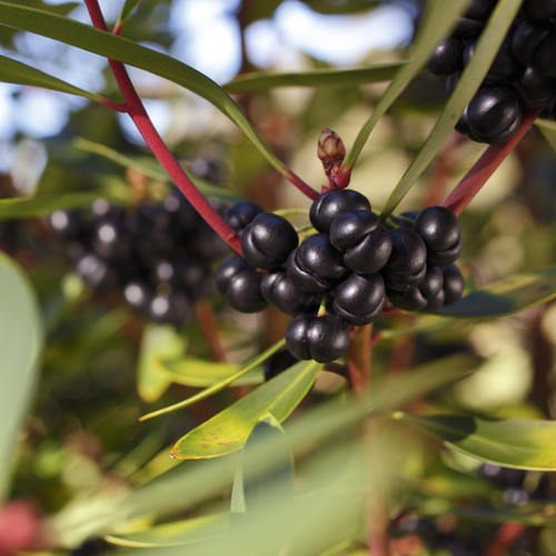 Tasmanian Pepper Berry (50gm)