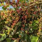 Wild Coffee Beans