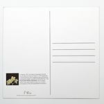Sketches Of Singapore Series Orchid Postcard - Paravanda Nelson Mandela by Glacy Soh