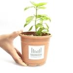 RADONGROW Italian Basil Live Plant With Pot