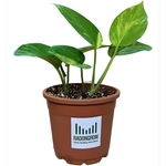 Good Luck Money Plant Variegated Live Plant with Pot