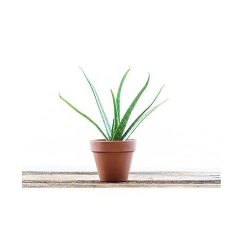 Aloe Vera Live Plant With Pot