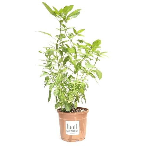 RADONGROW Sweet Basil Live Plant With Pot