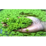 Azolla Live Plants 25+ Plants - for Cultivation & Feeding