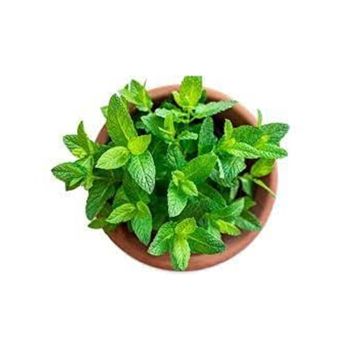 Peppermint Live Plant With Pot