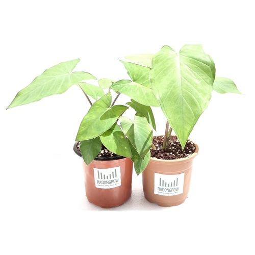 RADONGROW Patra Plant ColocasiaArbiTaro Plant 2  2- Quantity