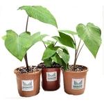 RADONGROW Patra PlantColocasiaArbiTaro Plant