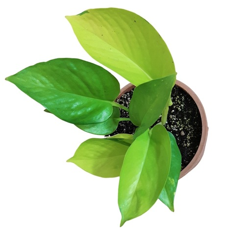 Good Luck Golden Money Plant live with Pot