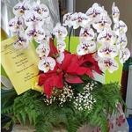4 Moth Orchids, Poinsettia & Baby's Breath