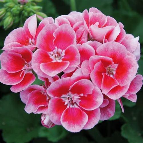 Mori Reed Diffuser ( Geranium )