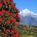 Himalayan Basil - Rhododendron