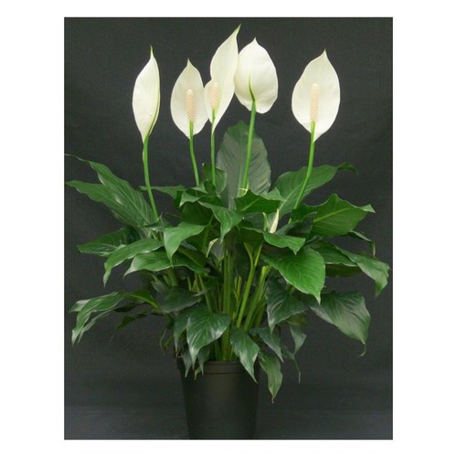 Peace Lily, Spathiphylum